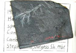 Fossil of Hallucigenia in Burgess Shale