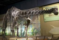 Mounted skeleton of Haplocanthosaurus delfsi: Cleveland Museum of Natural History