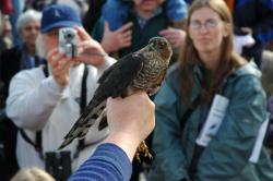 Close up encounter: Hawks are netted and banded and sometimes presented to the crowd before being released again. Photo by Mark Ryan