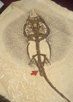 Heliobastis radiens: A stingray found in the Green River Formation deposits. Science Museum of Minnesota collection.