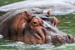 Dude, you're outta here: A growing hippo population in the South American country of Columbia is becoming a huge invasive species problem for the nation.