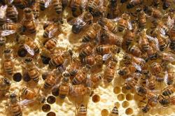 To bee or not to bee: honeybee populations keep dropping: Numerous factors are causing honeybee numbers to drop around the country.