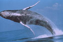 A humpback whale throws itself from the water: in its enthusiasm to give its life for science.