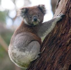 I need a lift: Click the link in the text to learn about the unusual travel predicament of a Koala bear in Australia.