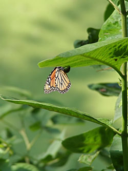 Mother monarch: A mother monarch lays her egg.