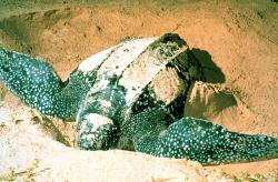Return of the native: For the first time since the 1930s, a leatherback sea turtle has nested on Padre Island, Texas.