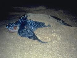 The great race: Satellite technology is keeping tabs on the progress of 11 leatherback turtles as they migrate from Costa Rica to the Galapagos Islands in the Great Turtle Race.