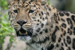Can you hear me know?: Wildlife managers in India are using cell phone ringtones of chickens, goats and cows to draw troublesome leopards into villages to be trapped and moved to safer locations. (Photo by Sunshine Hanan)