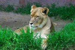 Have you been to church?: An escaped zoo lioness (not this one) rode out the brunt of Hurricane Ike with a bunch of humans in a little island church off the coast of Texas this past weekend.