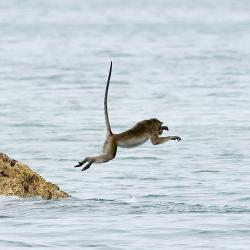 Gone fishin': A long-tailed macaque in Thailand demonstrates its unorthodox technique.