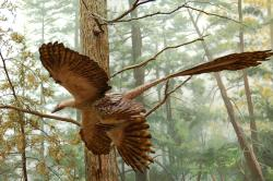 Bi-plane flyer: New research on Microraptor gui suggests that the flying reptile from 125 million years ago may have utilitized the same aerodynamics as a biplane.