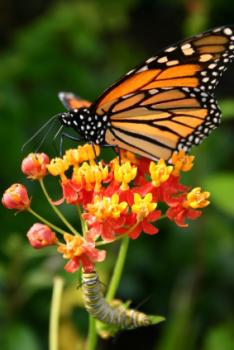 Lunch time: A Monarch munches on sonne milkweed.