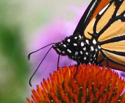 Monarch migration: The antenna is vital to navigating.