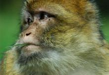 Monkey business: Could pet monkeys be a new cure of anxiety? A Missouri woman claims that she's successfully been off of her anxiety treatment medications since having a pet monkey be her constant companion. (Photo by Hector)