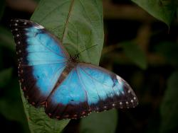 Blue, blue, my ears are blue.: The blue morpho butterfly hears through ears on its wings.