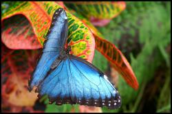 Morpho butterfly: Pigments don't cause these butterflies' intense colors. Instead, super-small lattice-like structures on the wings reflect only certain wavelengths of light (or color). And the colors shift with your perspective. (Photo courtesy Lionoche, through Flickr)
