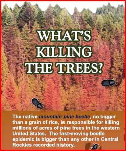 Mountain pine beetle: download brochure by clicking on Forest Service