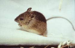 Preble's meadow jumping mouse: Preble's meadow jumping mouse.  Photo courtesy U.S. Fish and Wildlife Service.