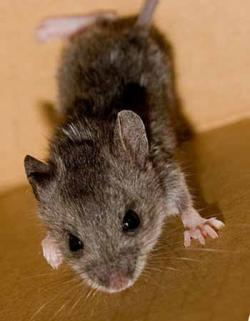 Stem cells from mouse tails: Photo adapted from Kadath
