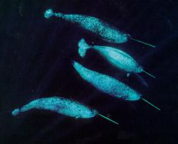 Aerial view: A group of narwhals can be seen swimming together from an aerial view.