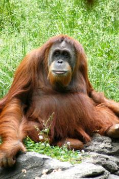 I am not a crook: Orangutans are uniting behind the non-criminal activites of a Borneo sister who a tourist is accusing of attacking her at a wildlife sanctuary (Flickr photo by axinar)