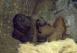 Markisa the orangutan and her new baby: Bonding nicely.