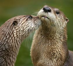 Humans...they taste just like chicken: Several reports of otters attacking swimmers in Minnesota this summer are very unusual situations, authorities say.