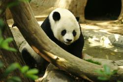 Pooped out?: A new Chinese business venture hopes to convert Panda poop into attractive souvenirs that Summer Olympic visitors will buy next year.
