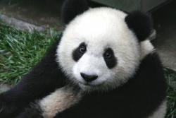 Homeless?: A preserve where rare pandas live and breed was at the epicenter of the strong earthquake that hit China yesterday.