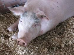 Am I a flu risk?: A new strain of pig-borne flu virus my just shut down the doors to the public of the Minnesota State Fair swine barn this summer.