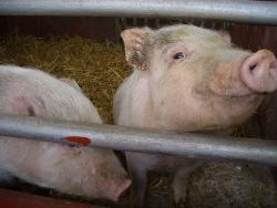 "Before you turn me into bacon, I might give you the flu: Pigs will be under extra scrutiny at the Minnesota State Fair this year as a new strain of ""swine flu"" has been detected around the country."