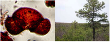 Pine pollen viewed under a microscope (left) and pine tree (right)