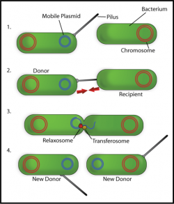 Plasmid genetic transfer