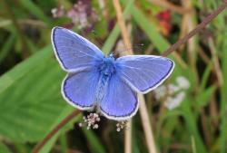 Polyommatus blue butterfly