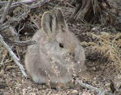 Big trouble for a little animal: The federal government is studying if endangered status needs to be expanded for the pygmy rabbit, a little bunny that can be found in eight western U.S. states.