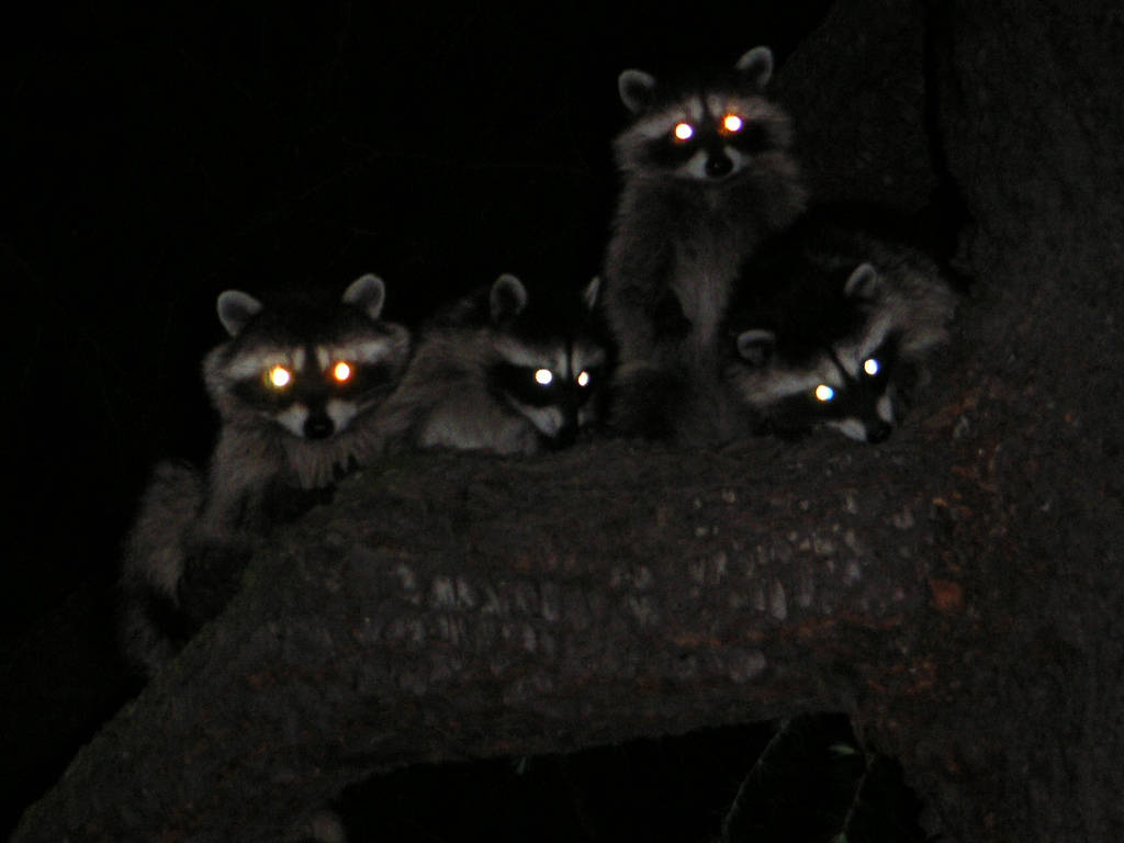 http://www.sciencebuzz.org/sites/default/files/images/raccoons_dark.jpg