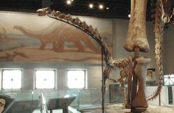 Rapetosaurus krausi: The Cretaceous titanosaur is dwarfed by the massive leg bones of its larger Jurassic cousin Apatosaurus. Field Museum of Natural History.