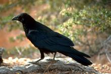 Bird brain: A large-brained raven has a better chance of survival than a small-brained bird of the same size. Photo Bureau of Land Management.
