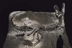 Tyrannosaurus rex: remains of the Tyrant Lizard King on display at the Royal Tyrrell Museum in Drumheller, Alberta.