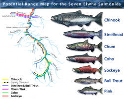 Potential range of salmonid fish on the Elwha River