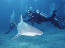 A modern blacktip shark: living a modern life on her own.