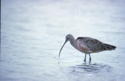 Waterbirds worldwide are in decline.: Long-billed curlew. Photo US Fish & Wildlife Service