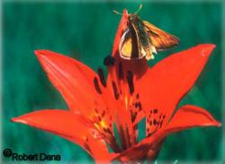 Also endangered: Up for endangered consideration is this butterfly, the Dakota skipper.