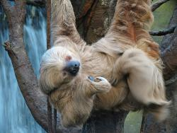 After a hard day of hanging upside-down in the trees, you'd be exhausted, too: Wild sloths are more active than those living in zoos.