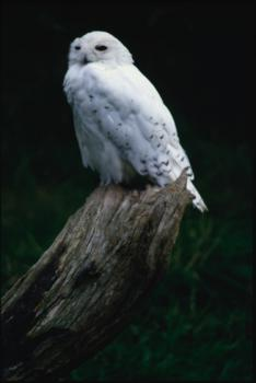 Snowy owl: The snowy owl's white feathers make it less visible to its prey.