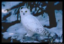Headng south: Birders near Red Wing recently saw a snowy owl. The birds of prey rarely get that far south. Northern Minnesota is their usual southern range during the winter time.