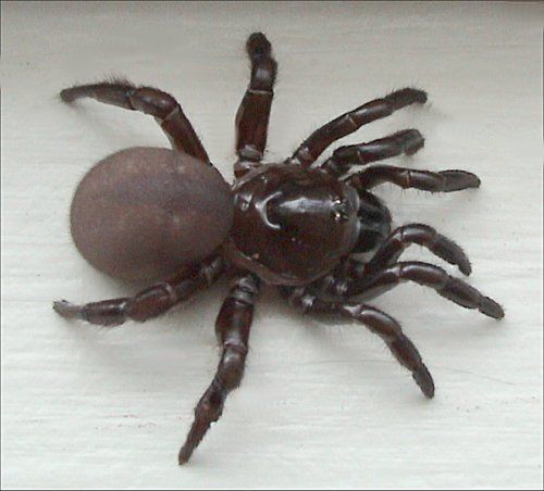 how to look after a trapdoor spider in sydney