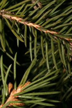 Canadian Spruce: If these leaves were human, they could be legal adults!