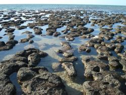 """Stromatolites at Shark Bay: the living fossils are featured in NOVA's """"Australia: First 4 Billion Years""""."""