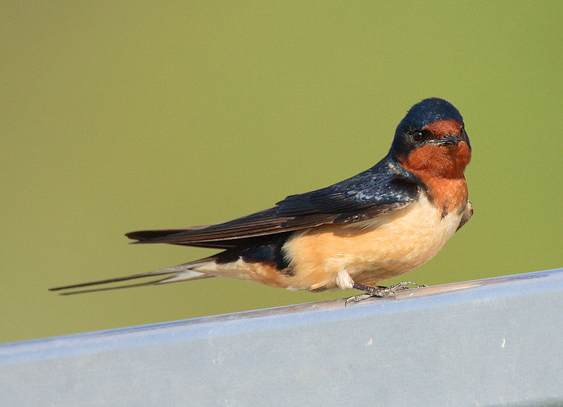 You look mahvelous: How male swallows become chick magnets ...